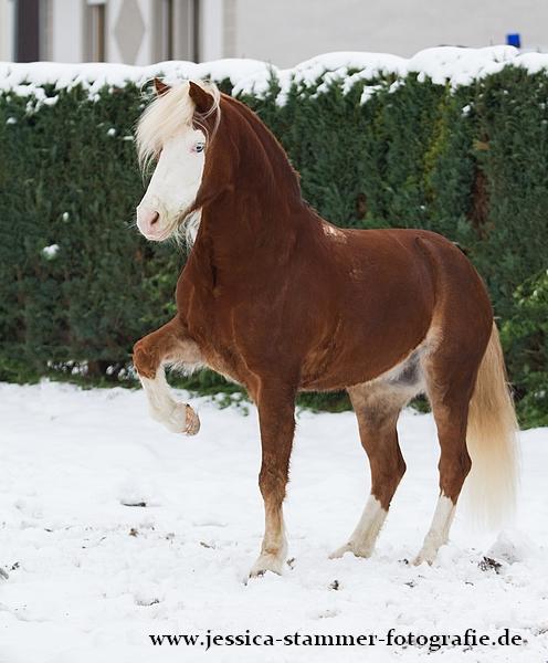 Qualzucht Pferd