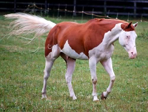 Zijn zij splashed white? • Bokt.nl  Splashed White Horse