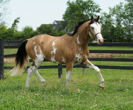 Black Maximum Sabino Paint Horse